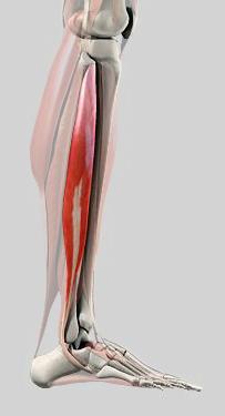 Musculus peroneus longus